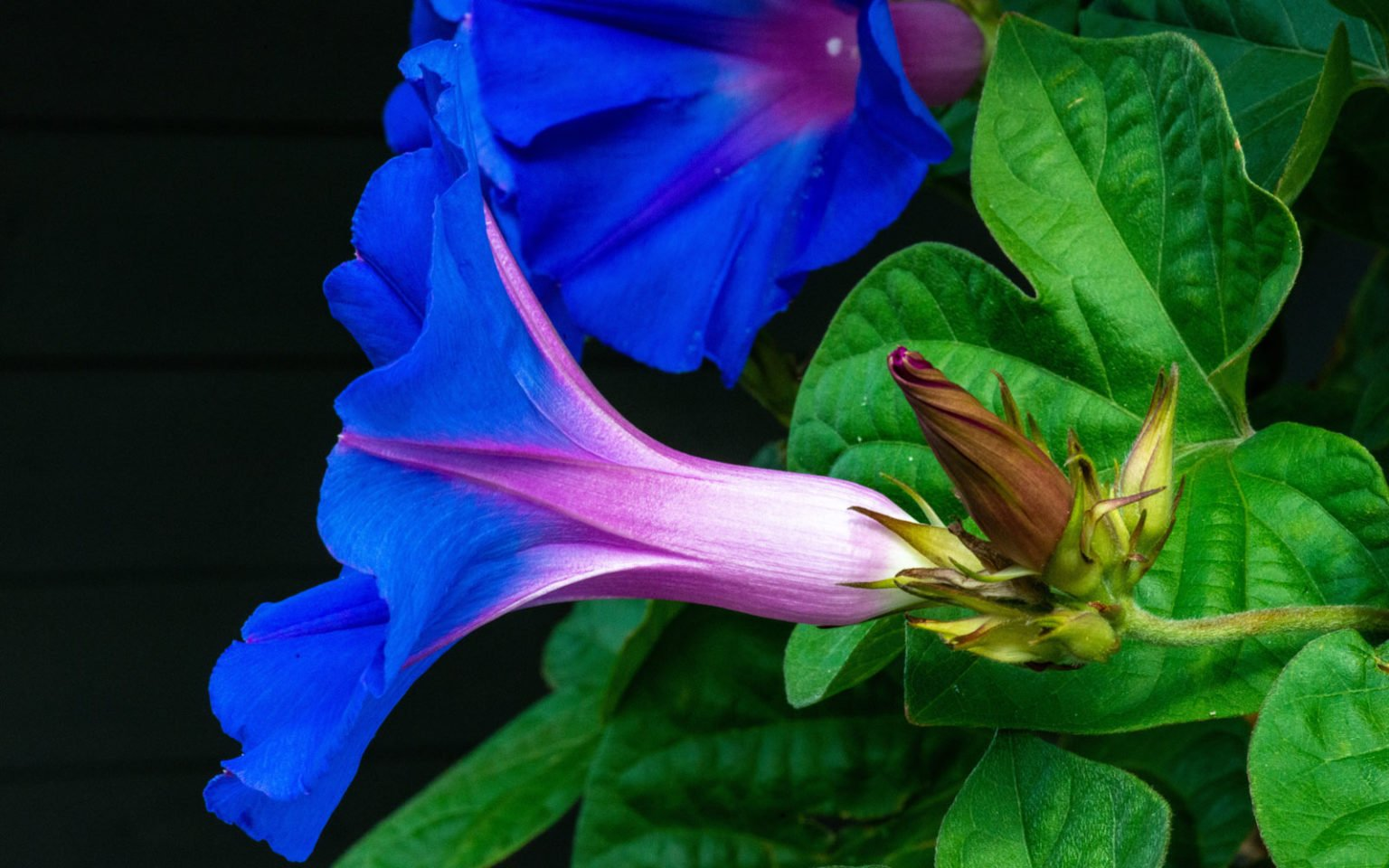 Morning Glory Guide: Seeds, Effects, Common Uses, Safety